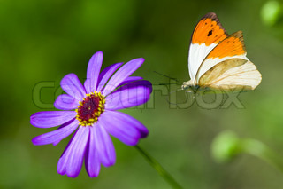 Butterfly flies to lilac flower