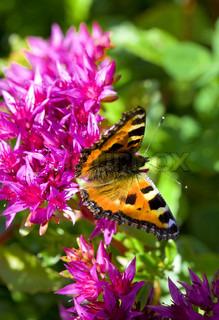Butterfly on crimson flowers