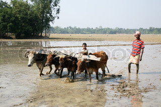Farmers plowing agricultural field in traditional way where a plow is attached to bulls