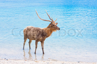 Deer with big horns in ocean