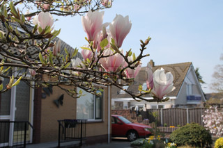 Tree from magnolioideae magnolia with blooming blossom in the front garden in spring and a red car.