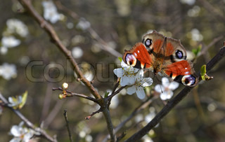 The Peacock butterfly photographed in the flowers in a plum tree
