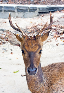 Deer with big horns on sand