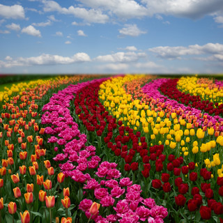 Dutch colorful tulips fields in sunny day