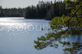 Pine tree branch at a glittering lake in the swedish province Smaland