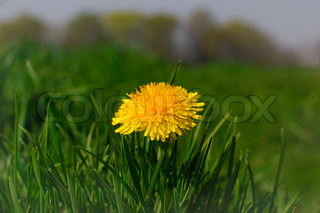 Beautiful dandelion close up with nice green backroung
