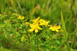 yellow flowers of Saint-John's-wort