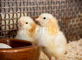 Two yellow little chicks