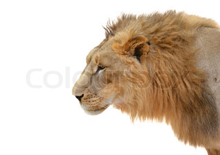 male lion head isolated