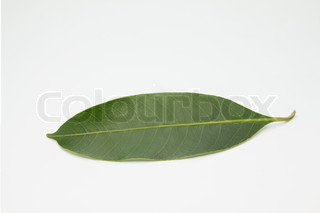 Maprang, Marian plum green leaf isolated on white