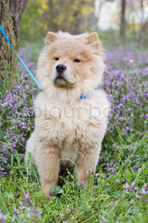 Сhow chow dog  in the grass
