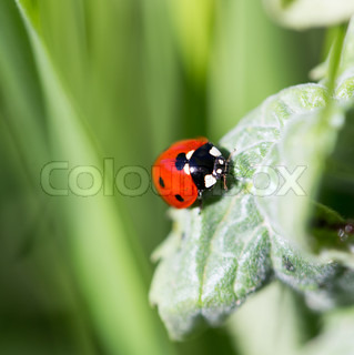 ladybug on grass in nature. macro