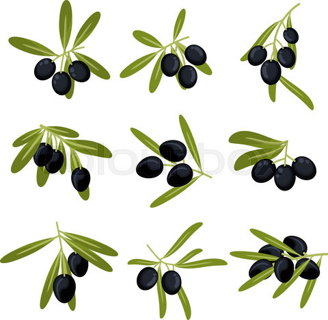 Organically grown black olive fruits on branches